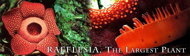 Rafflesia, The Largest Plant.jpg
